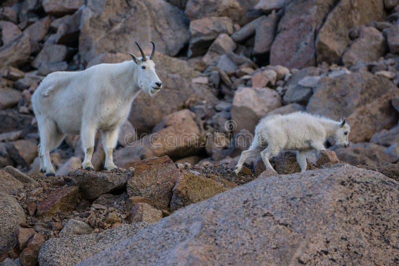 山羊孩子母亲山 免版税库存照片