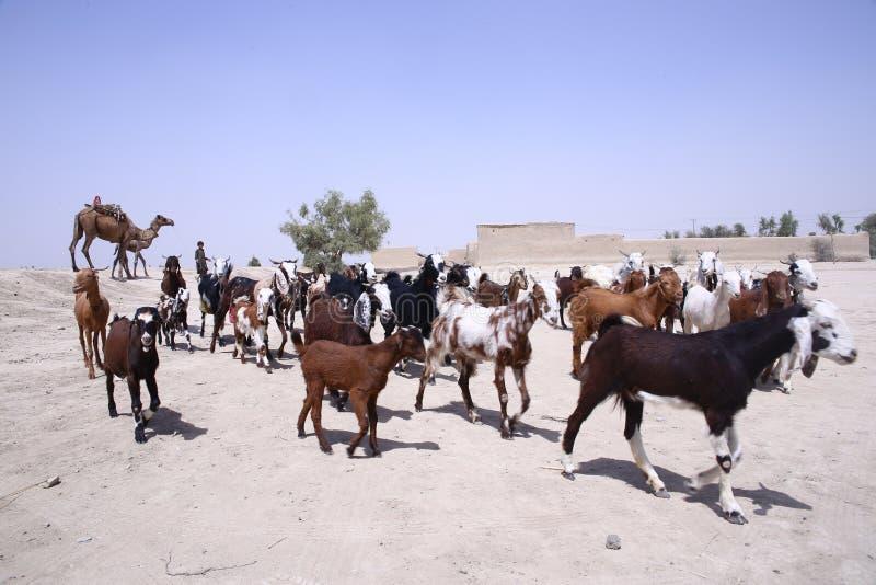 山羊小牧群在塔帕卡县,信德省 库存照片