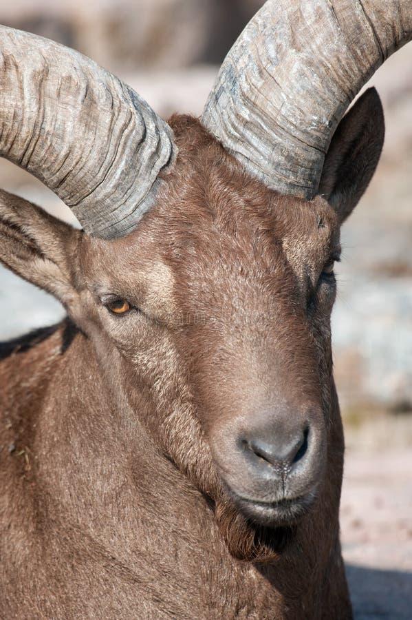 山羊属白种人cylindricornis tur 免版税库存图片