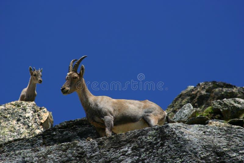 山羊座 免版税图库摄影