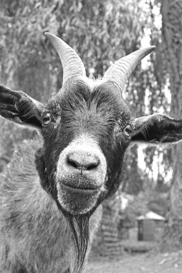 山羊微笑 免版税图库摄影