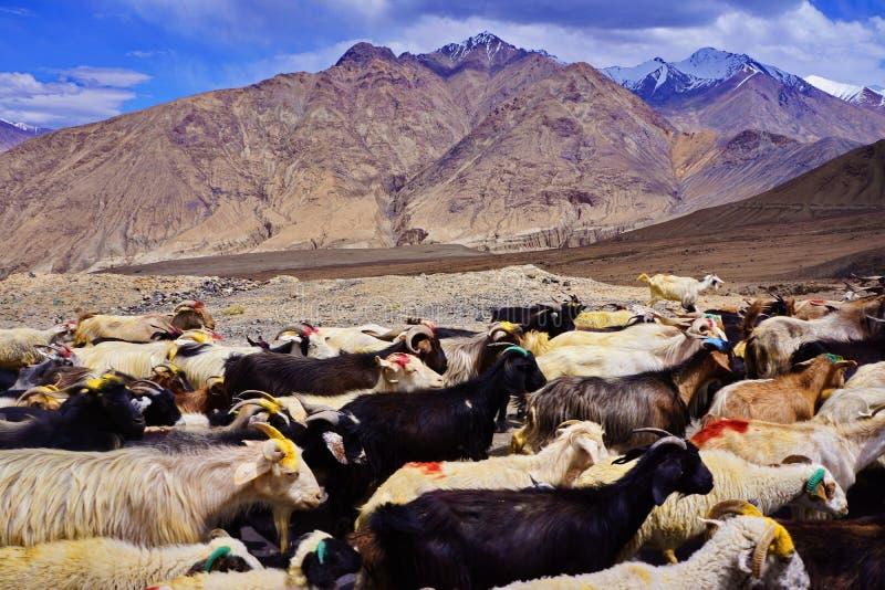 山羊牧群在山坡的 免版税图库摄影
