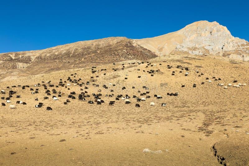 山羊牧群在山坡的 图库摄影