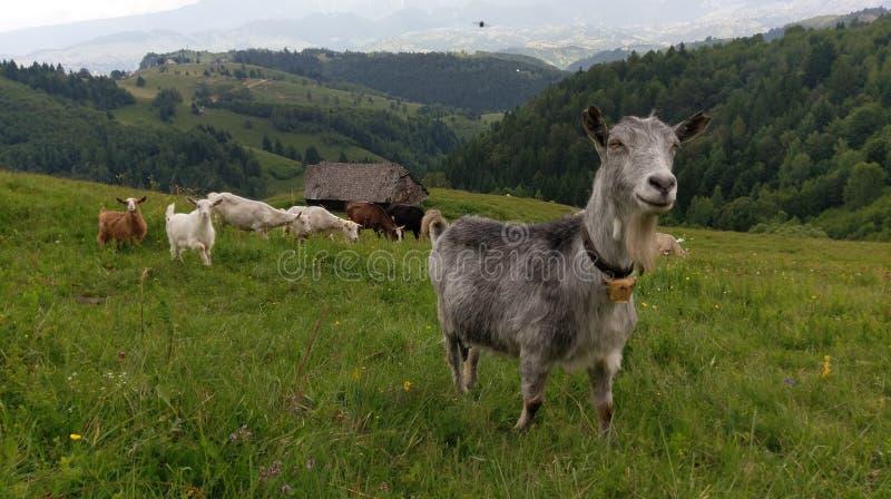 山羊牧群在罗马尼亚 免版税图库摄影