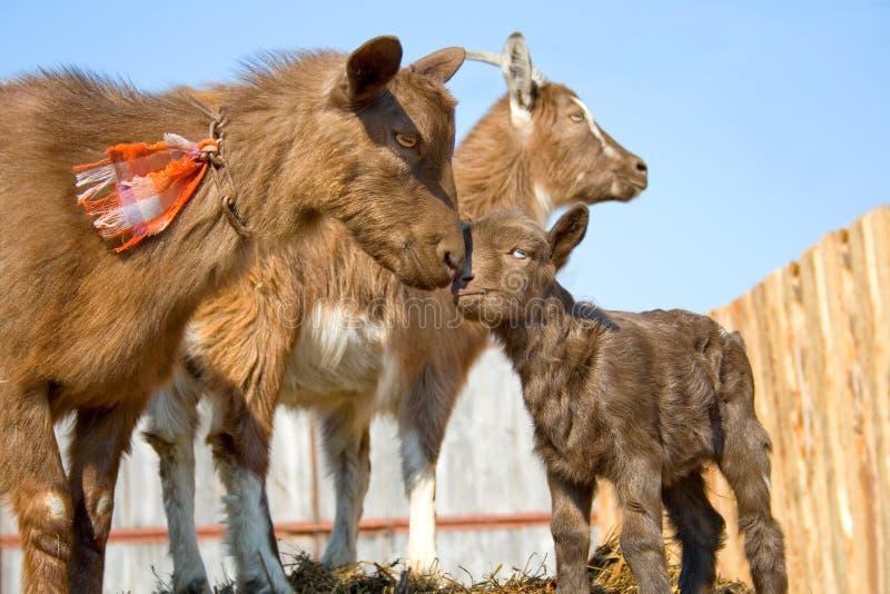 山羊牧群宠物 免版税库存照片