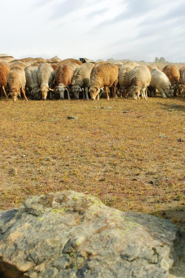山羊牧群绵羊 库存照片