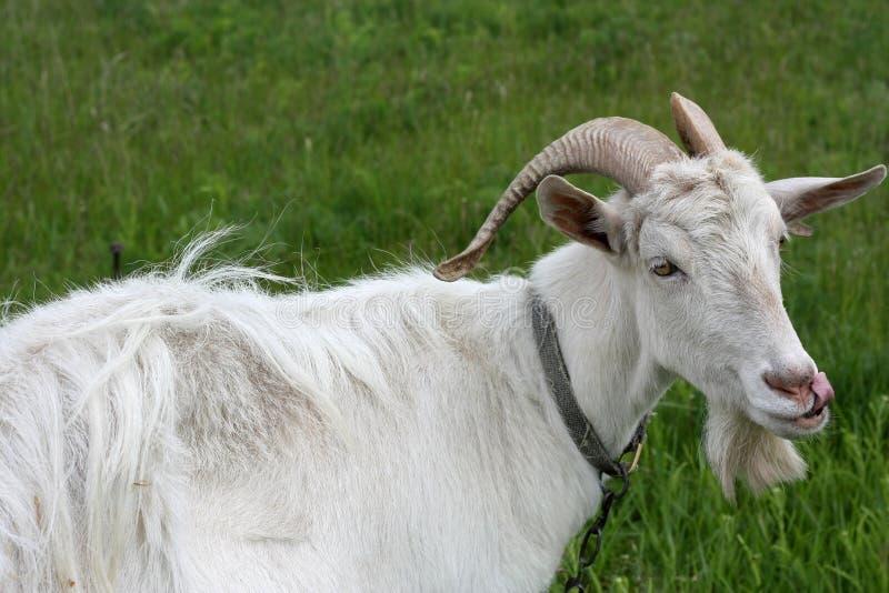 山羊白色 免版税库存照片