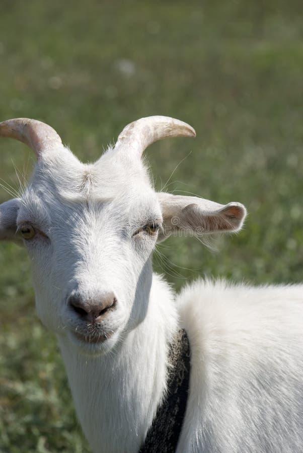 山羊空白年轻人 库存图片