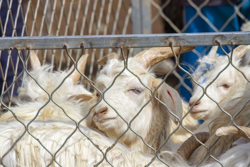山羊笔在喀什星期天家畜市场,中国上 免版税库存图片