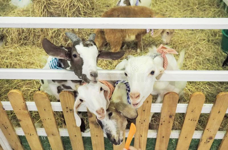 山羊等待吃从人的手的红萝卜 免版税库存图片