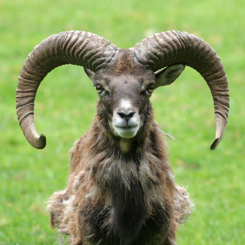 山羊纵向 免版税图库摄影