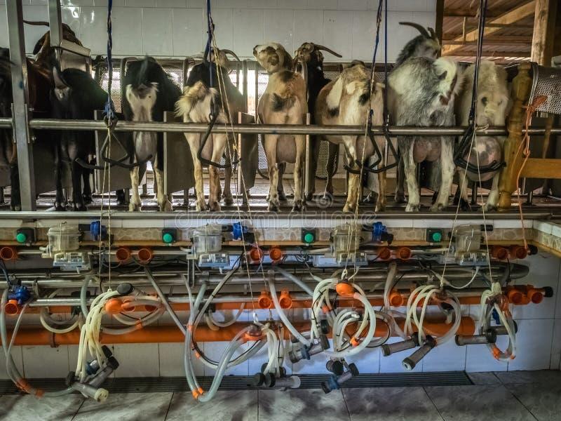 山羊自动化的挤奶 免版税库存图片
