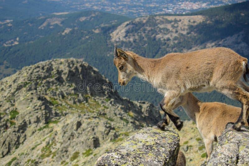 山羊自然12 免版税库存图片