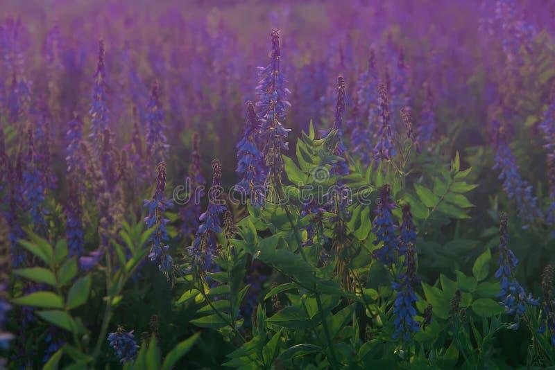 山羊豆属officinalis山羊云香或法国丁香在绽放 在夏天领域的美丽的紫罗兰色花 库存图片