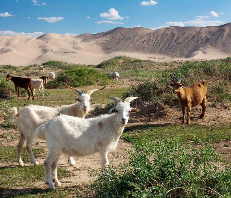 山羊-沙丘-沙漠-蒙古 免版税库存图片