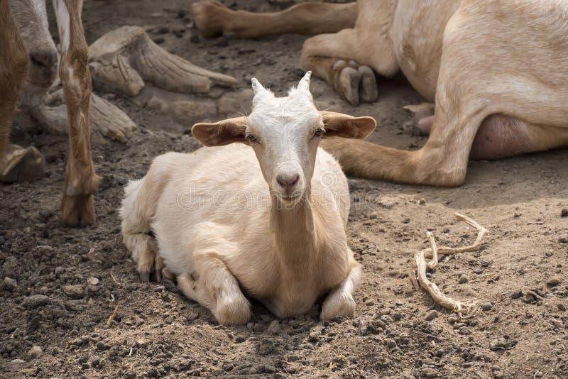 山羊说谎的休息 库存照片