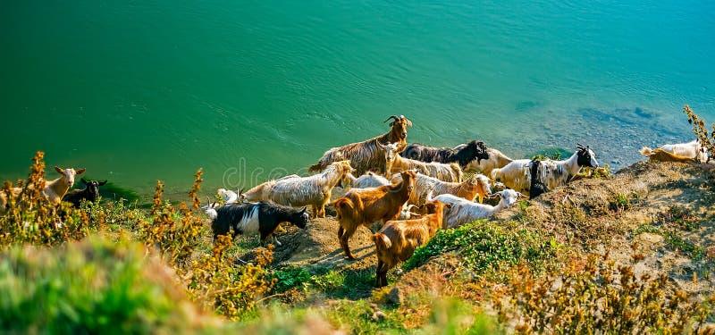 山羊临近水 图库摄影