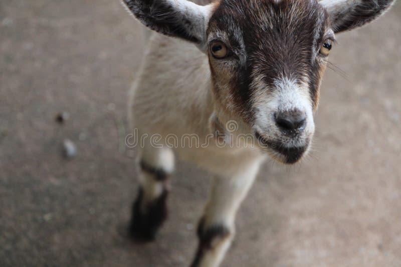 山羊 图库摄影
