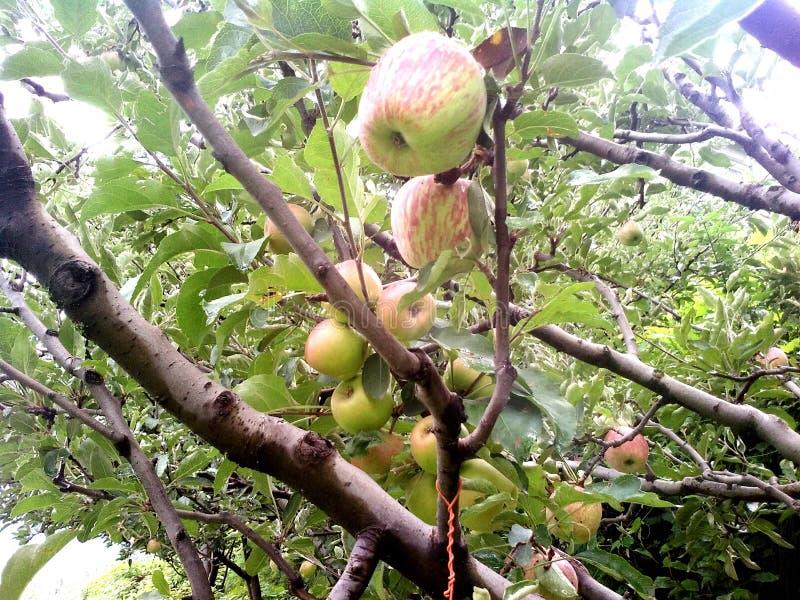 山美丽与苹果树 免版税库存图片