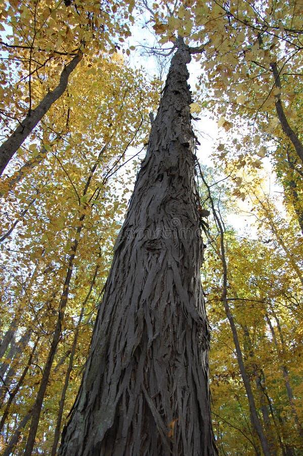 山胡桃树在树木园,安娜堡,密执安美国 免版税库存图片