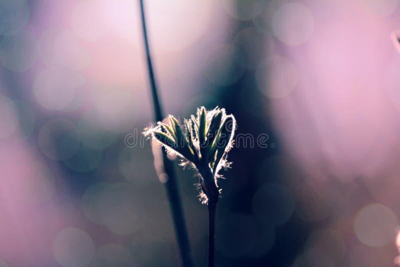 山脉灰妙龄年轻叶子在等高的点燃 库存照片