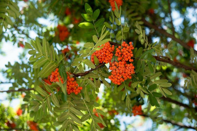 山脉灰或花楸浆果红色群,在分支在summe 免版税库存照片