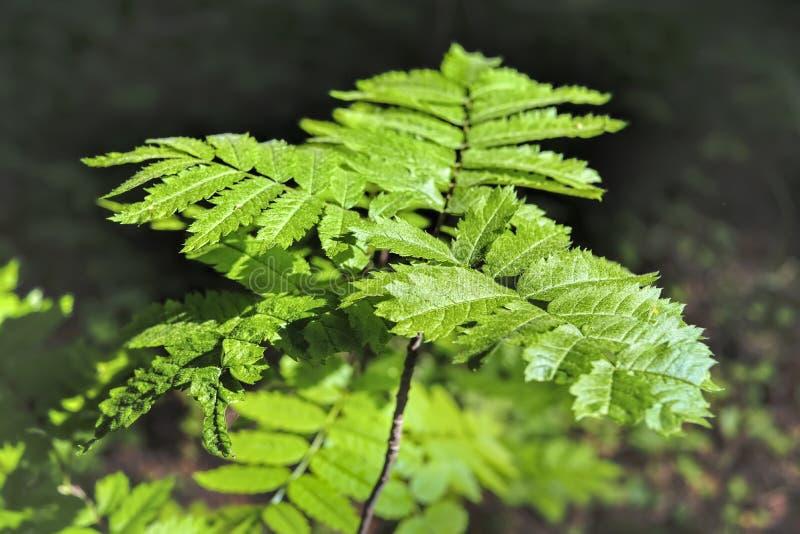 山脉灰的分支与年轻夏天叶子的在被弄脏的绿色背景 库存照片