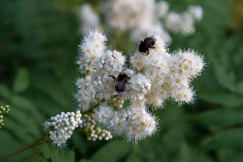 山脉灰的白花与一只土蜂的在绿色叶子背景  r 库存照片
