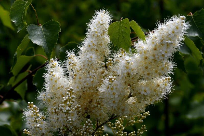 山脉灰spirea绽放在森林里 免版税库存图片