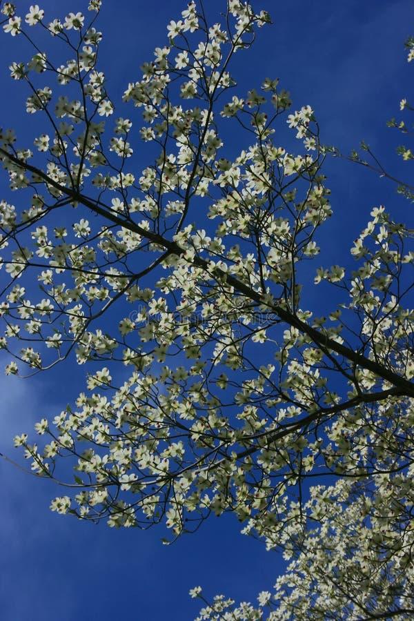 山茱萸开花的树白色 免版税库存照片
