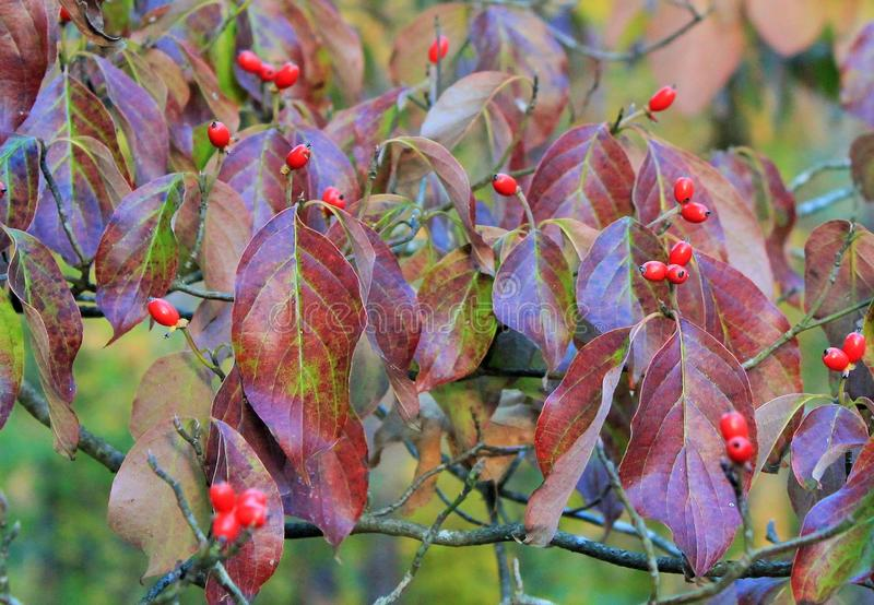山茱萸红色莓果 免版税库存照片
