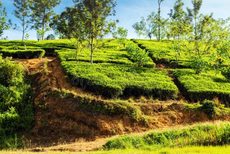 山茶灌木种植园锡兰,斯里兰卡 库存照片