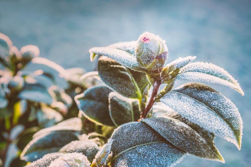 山茶花植物芽和叶子在一个霜冷的早晨在冬天 库存图片