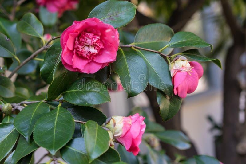 山茶花japonica茶科植物开花从日本的桃红色花 库存图片