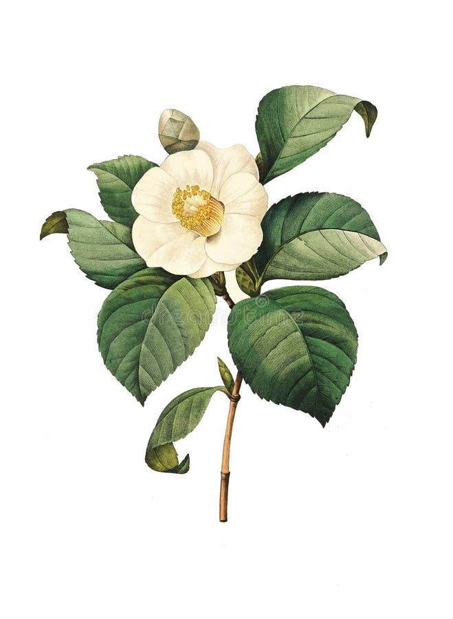 山茶花japonica|古色古香的花例证 库存例证