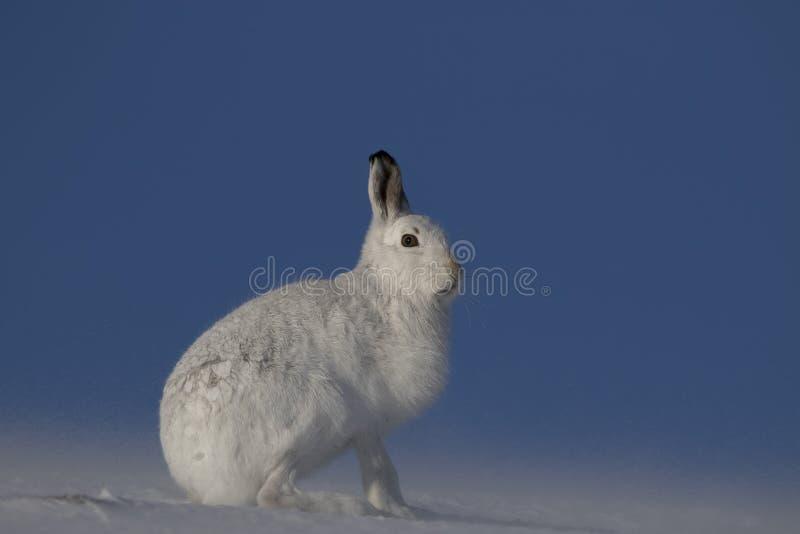 山野兔,天兔座timidus,开会,跑在雪的一个晴天在冬天期间在cairngorm国家公园,苏格兰 免版税库存图片