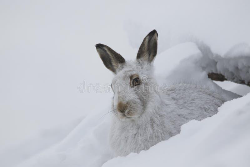 山野兔,天兔座timidus,画象的关闭,当坐,放置在雪在冬天/夏天外套的冬天期间在autumn/wi期间时 免版税图库摄影