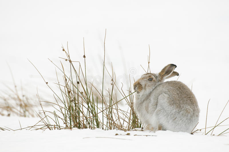 山野兔 库存图片