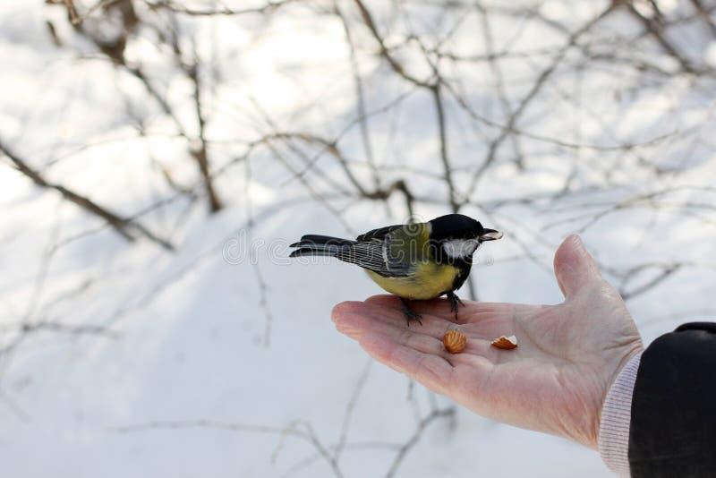 山雀在春天公园 免版税库存图片
