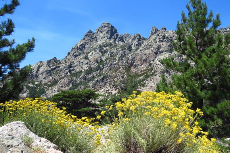 山风景彻尔de Bavella在与黄色花的夏天在前面,科西嘉 库存图片