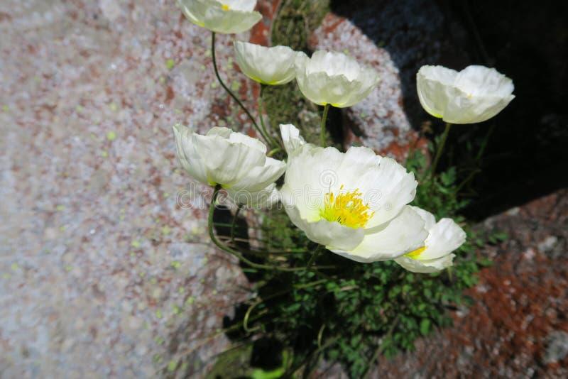 山鸦片花卉生长在岩石 免版税库存照片