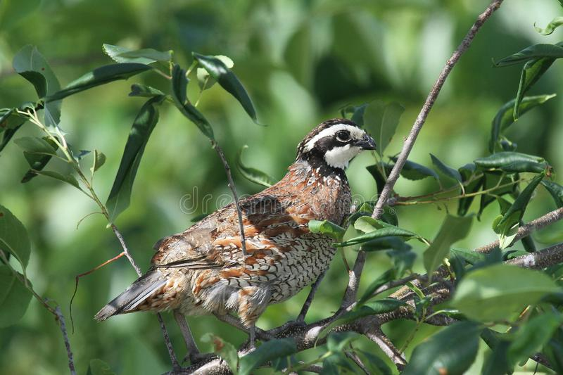 山齿鹑在树栖息 免版税库存图片