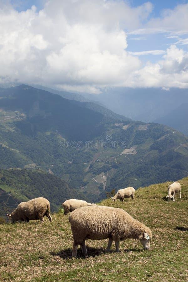 山sheeps顶层 免版税库存图片