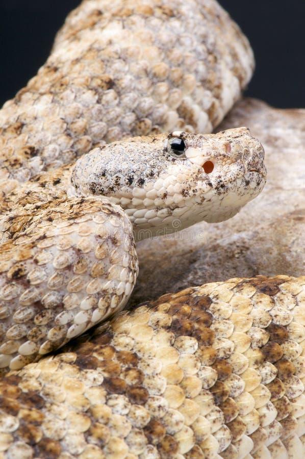岩石响尾蛇/响尾蛇mitchellii pyrrhus 库存照片
