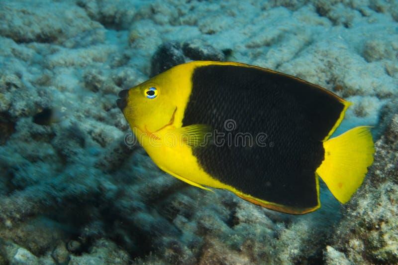 岩石在珊瑚礁的秀丽神仙鱼在博奈尔岛在加勒比 库存图片