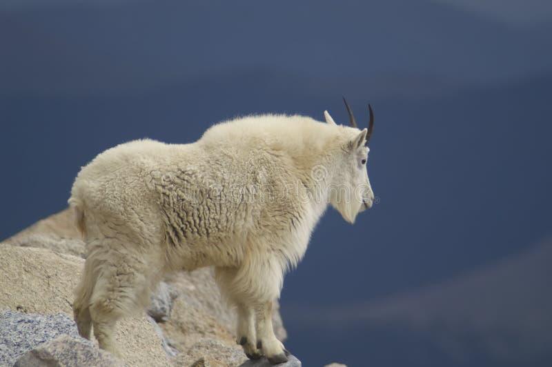 岩石山羊的山 库存照片