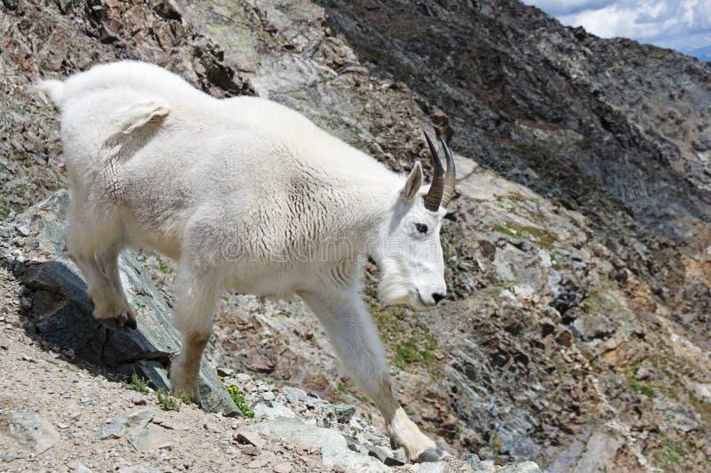 岩石山羊的山 免版税库存图片