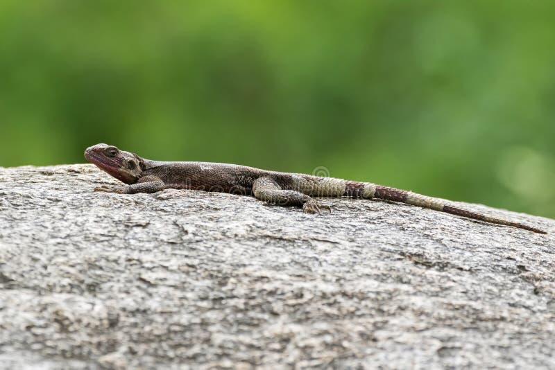 岩石摆在石头的蜥蜴蜥蜴在塞伦盖蒂国家公园在坦桑尼亚,非洲 免版税库存图片