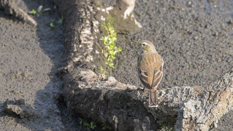 岩石田云雀之类,看见从后面,在石头上 库存图片