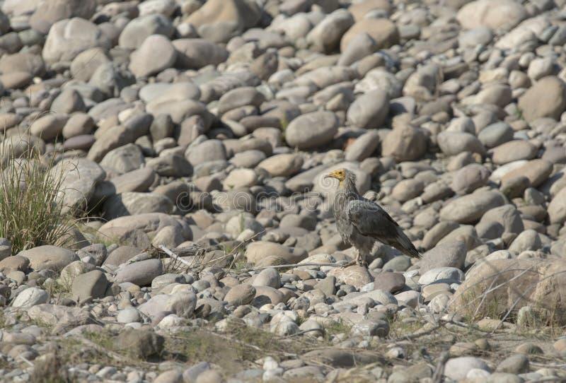 岩石的埃及人Vulturesitting 免版税库存照片